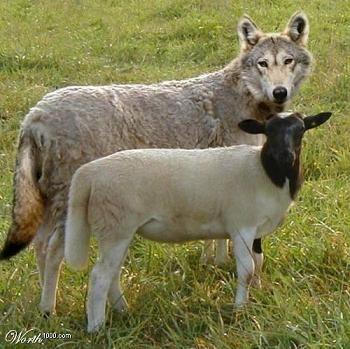 Jeux le loup et la brebis - Brebis dessin ...